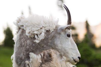 Weathered Mountain Goat