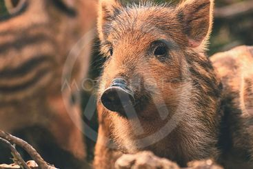 Beautiful little pigs wild in nature. Wild boar. Animal...