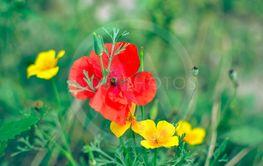 Californian poppy Eschscholzia californica, golden...
