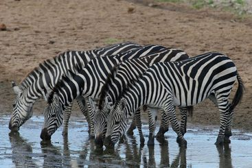 zebra drinking at the water hole