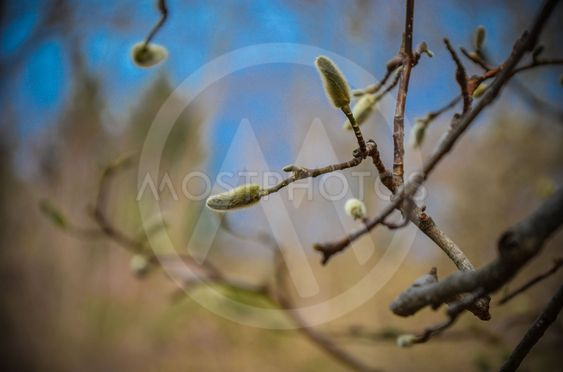 Delicate light green fluffy buds of magnolia in early...