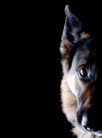 dog on black close up