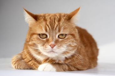 Red cat with orange eyes