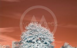 Infrared trees in park