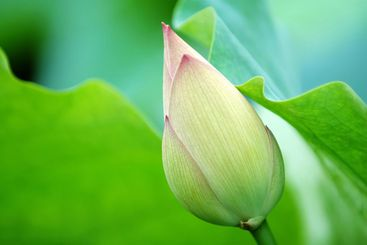 The green blossom of lotus