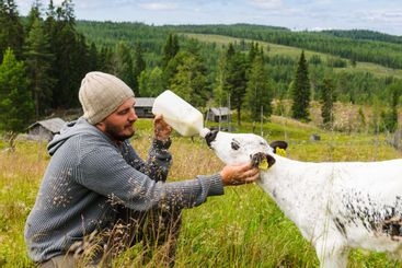 Man feeding lamb milk from bottle, Ransby, Värmland,...