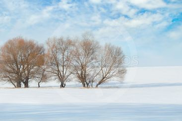 snow-covered field and trees in the snow on a background...