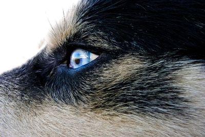 Artic wolfhound dog eye