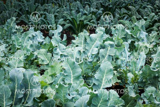 Vegetable garden - kale plants