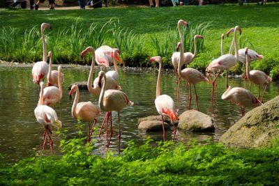 Herd of pink flamingos on a water reservoir
