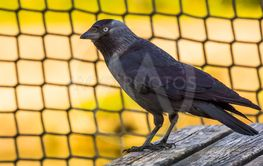 closeup portrait of a black crow, common cosmopolitan...