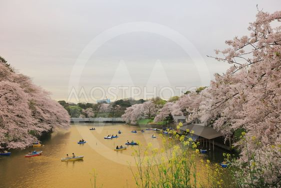 Tourists rowing a boat merrily on a  sakura
