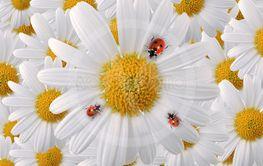 ladybug on white daisy petals