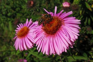 bee and pink flower