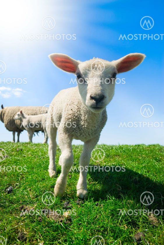 nysgerrig lam i foråret