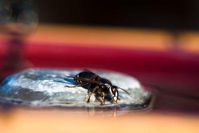 Thirsty Hornet