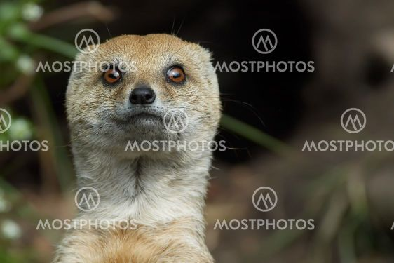 mongoose looking straight at the camera