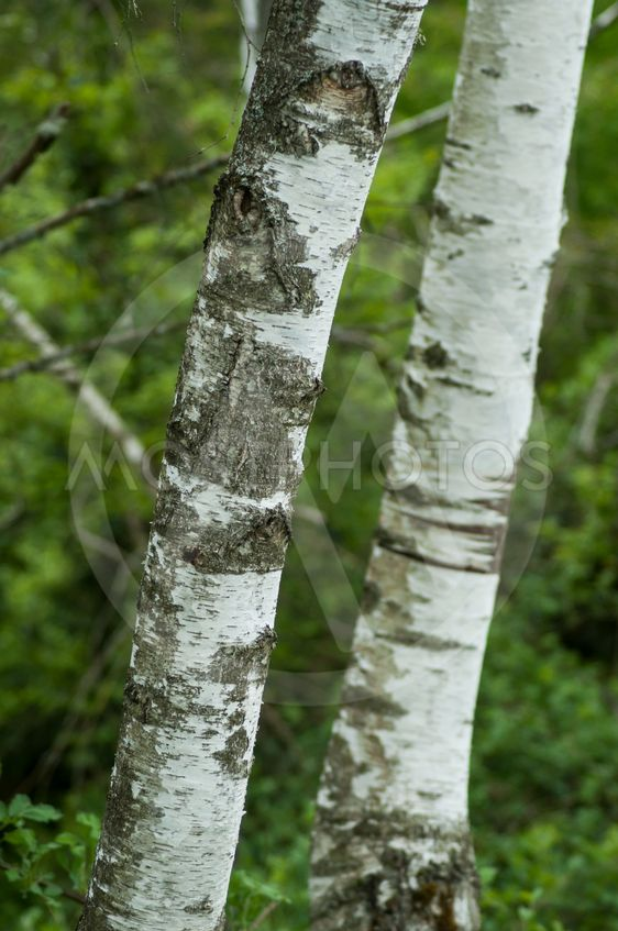 white birch trunk  in the forest