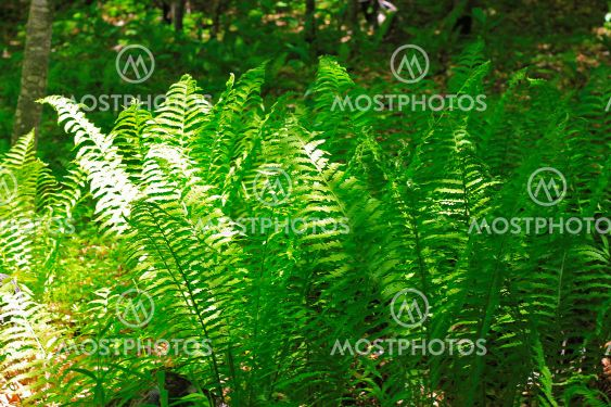 Bush of green fem leaves in the wood