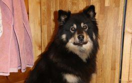 Finsk lapphund fyller 3 år