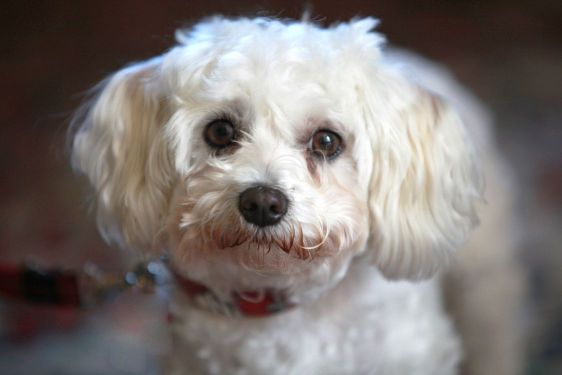Small Cute White Dog Look By Farina3000 Mostphotos
