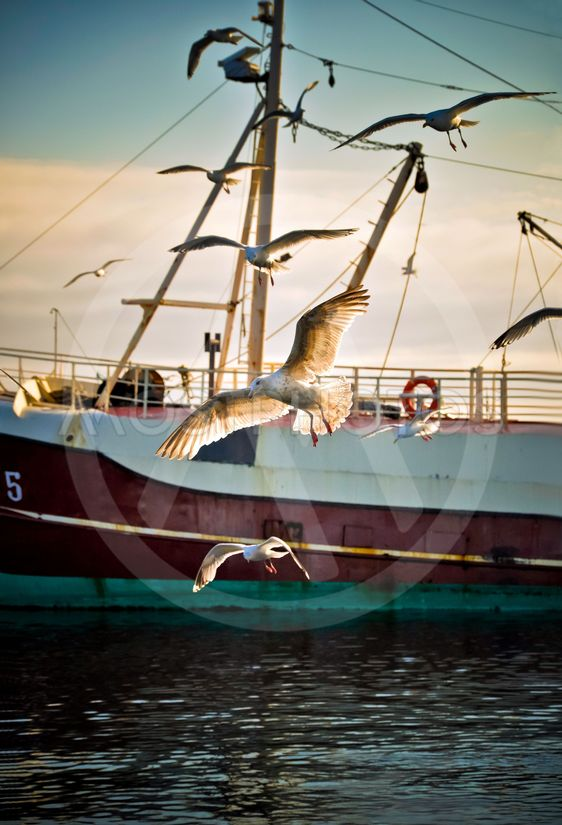 Seagulls venter fishingboats at ankomme om morgenen