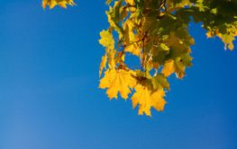 yellow maple leafs on tree