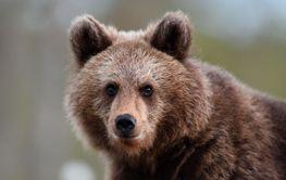 brown bear cub portrait at summer