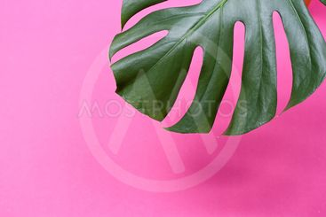the monstera leaf