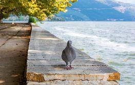 Pigeon near the lake of Ioannina on stone floor, Greece