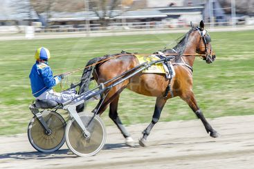 Harness racing. Racing horse harnessed to lightweight...