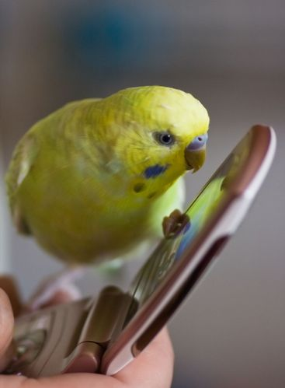 Small parakeet on cellphone