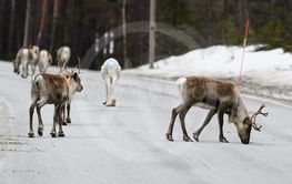 Reindeer crossing a road in its natural environment in...
