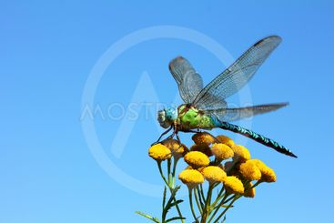dragonfly on yellow flower