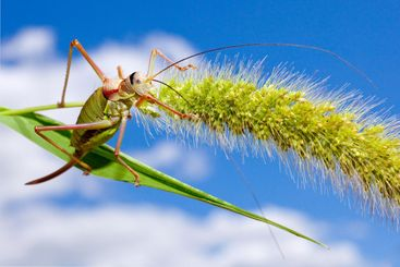 grasshopper on cereal