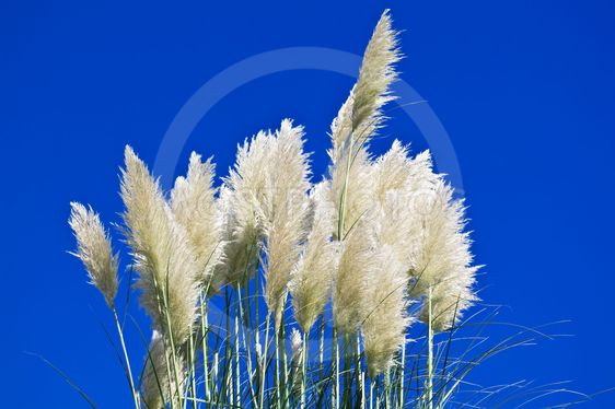 Pampas grass on the blue sky