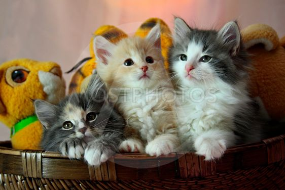 Norwegian Forest Cat Kitten By Elisa Putti Mostphotos