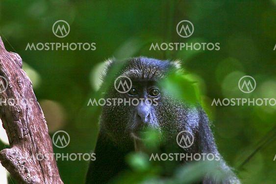 Blå monkey (Cercopithecus mitis)