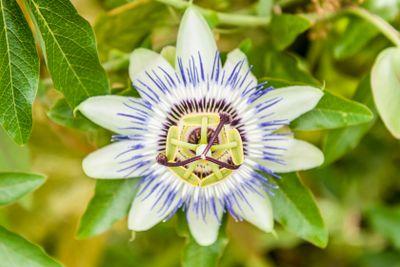 nice bluebonnets flower