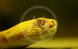 Yellow Rattlesnake