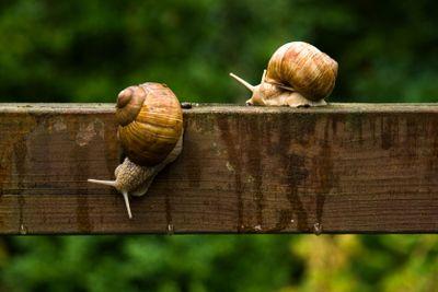 Big escargot snails on wooden bar in the rain