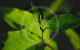 Branch with young green foliage on a blurred background.