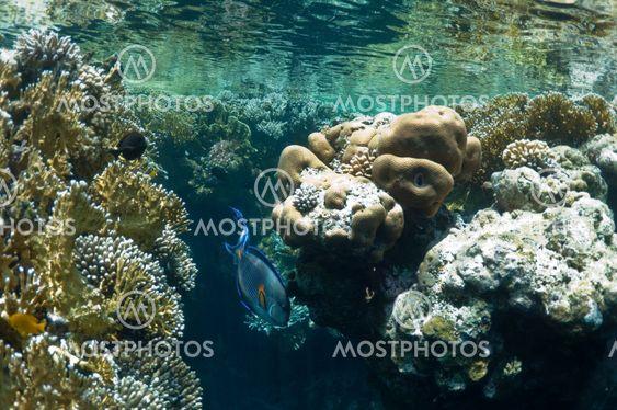 koralliriutta ja Trooppinen kala