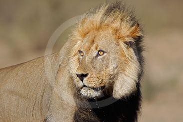 African lion portrait