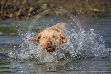 Labrador on water photo workshop