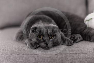 gray cat breed Briton. Little Briton cat. pets