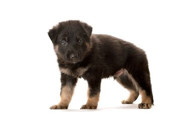 the sheep-dog puppy on a white background