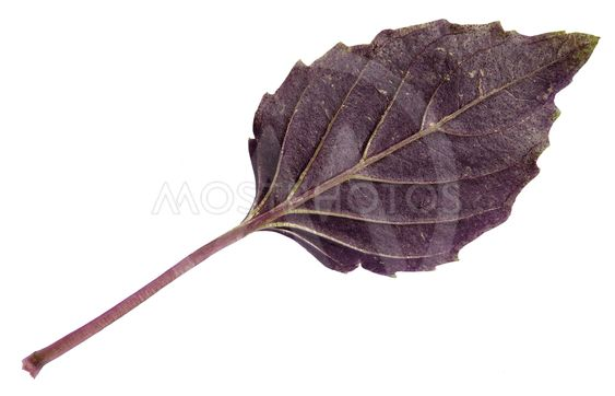 fresh leaf of purple basil herb isolated