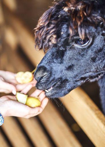 Alpaca feeding on the farm. Alpaca eats apples from hands