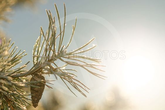 Frosty spruce twig with a cone during winter and sunlight